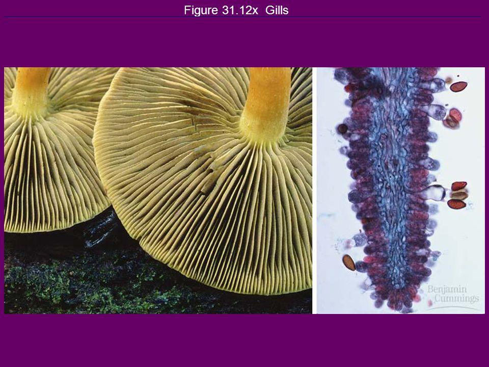 Figure 31.12x Gills
