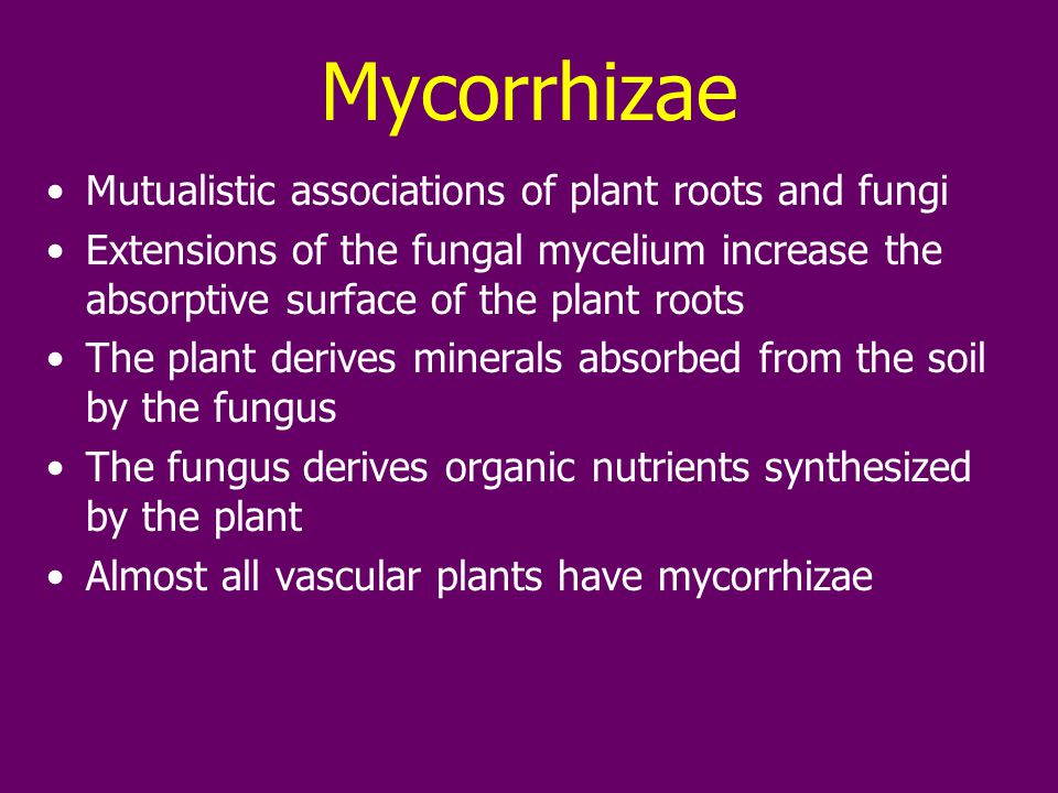 Mycorrhizae Mutualistic associations of plant roots and fungi Extensions of the fungal mycelium increase the absorptive surface of the plant roots The plant derives minerals absorbed from the soil by the fungus The fungus derives organic nutrients synthesized by the plant Almost all vascular plants have mycorrhizae