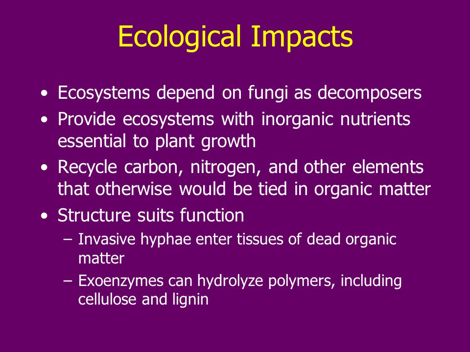 Ecological Impacts Ecosystems depend on fungi as decomposers Provide ecosystems with inorganic nutrients essential to plant growth Recycle carbon, nitrogen, and other elements that otherwise would be tied in organic matter Structure suits function –Invasive hyphae enter tissues of dead organic matter –Exoenzymes can hydrolyze polymers, including cellulose and lignin