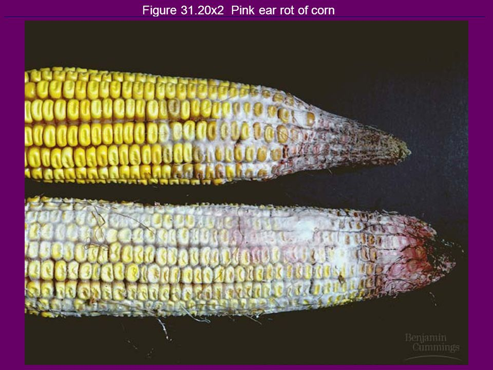 Figure 31.20x2 Pink ear rot of corn