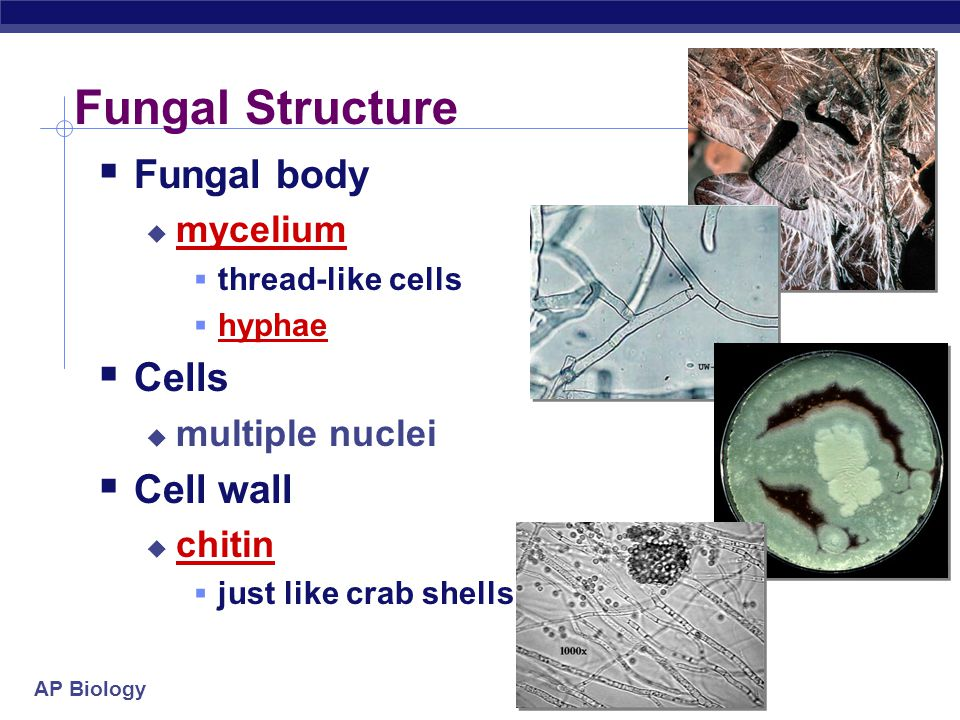 AP Biology General characteristics  Classification criteria  eukaryotes  heterotrophs  feed by absorption  mostly multicellular  except unicellular yeasts  cell wall  chitin  rigid polysaccharide  sexual & asexual reproduction