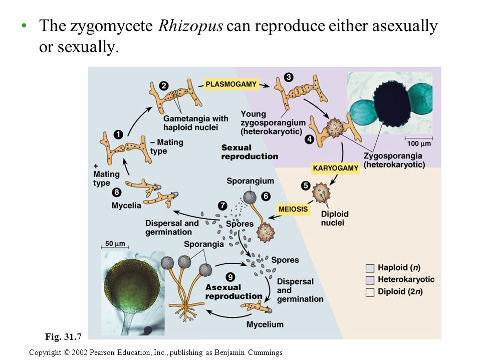 The zygomycete Rhizopus can reproduce either asexually or sexually. Copyright © 2002 Pearson Education, Inc., publishing as Benjamin Cummings Fig. 31.