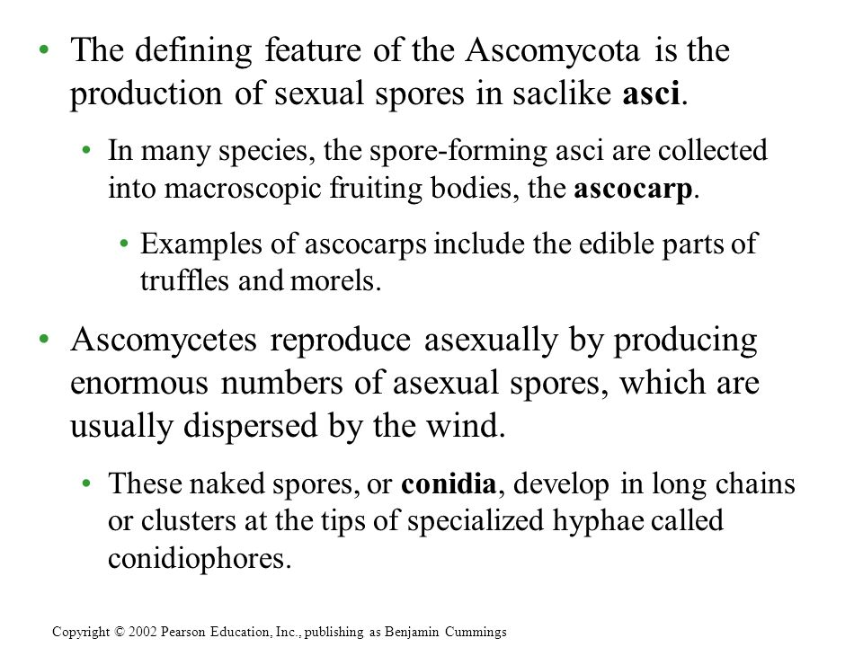 The defining feature of the Ascomycota is the production of sexual spores in saclike asci. In many species, the spore-forming asci are collected into