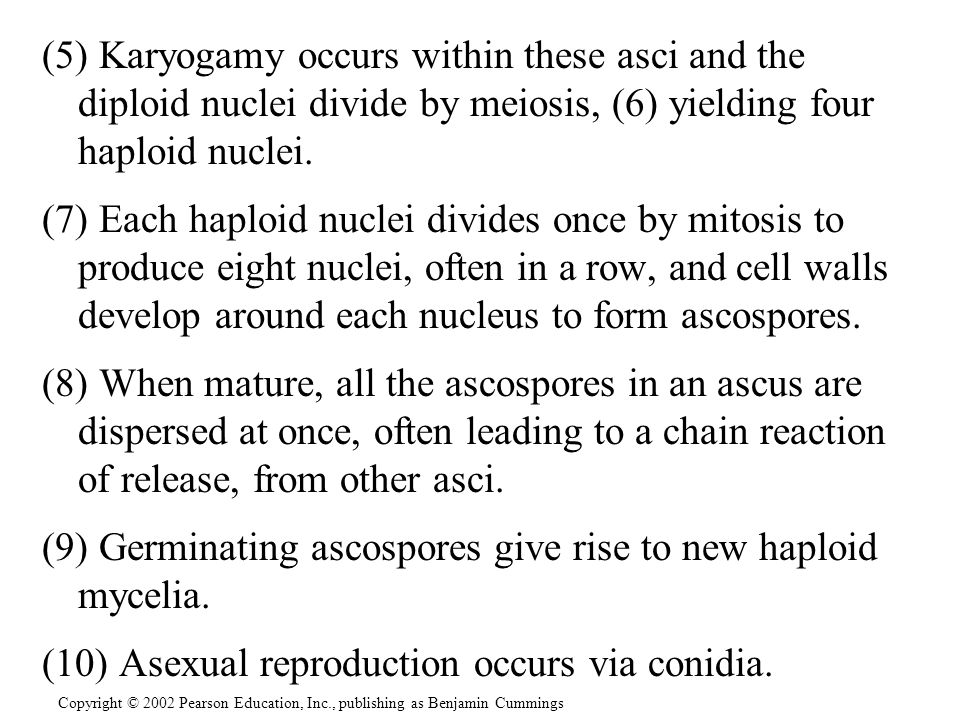 (5) Karyogamy occurs within these asci and the diploid nuclei divide by meiosis, (6) yielding four haploid nuclei. (7) Each haploid nuclei divides onc