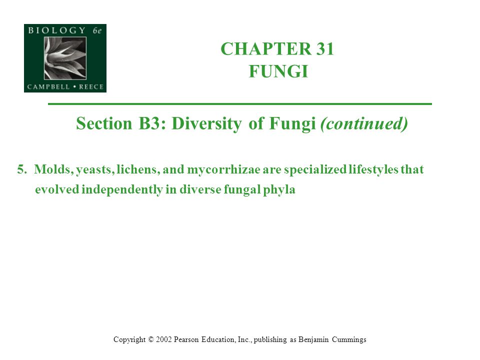 CHAPTER 31 FUNGI Copyright © 2002 Pearson Education, Inc., publishing as Benjamin Cummings Section B3: Diversity of Fungi (continued) 5. Molds, yeasts