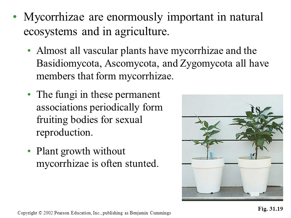 Mycorrhizae are enormously important in natural ecosystems and in agriculture. Almost all vascular plants have mycorrhizae and the Basidiomycota, Asco