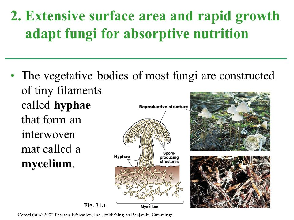 The vegetative bodies of most fungi are constructed of tiny filaments called hyphae that form an interwoven mat called a mycelium. 2. Extensive surfac