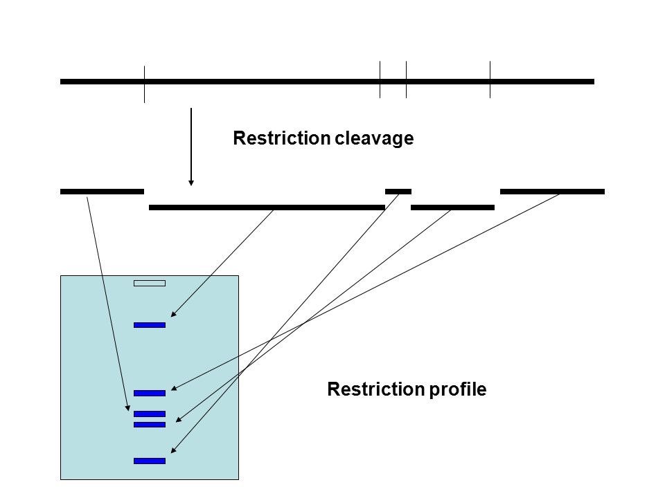 Restriction cleavage Restriction profile