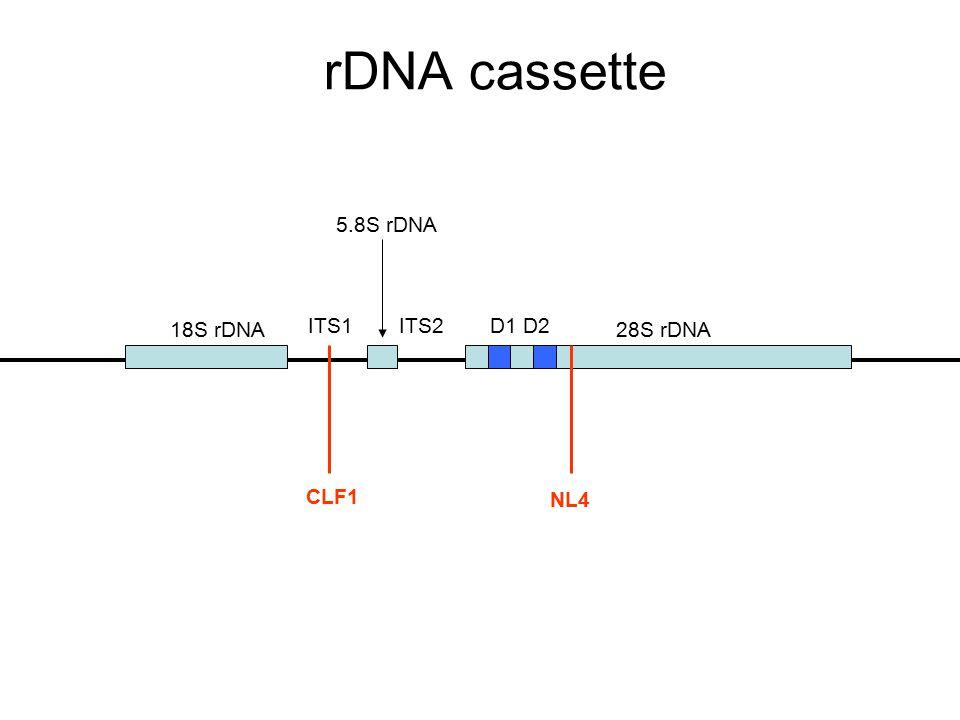 rDNA cassette 18S rDNA 5.8S rDNA 28S rDNA ITS1ITS2D1 D2 CLF1 NL4