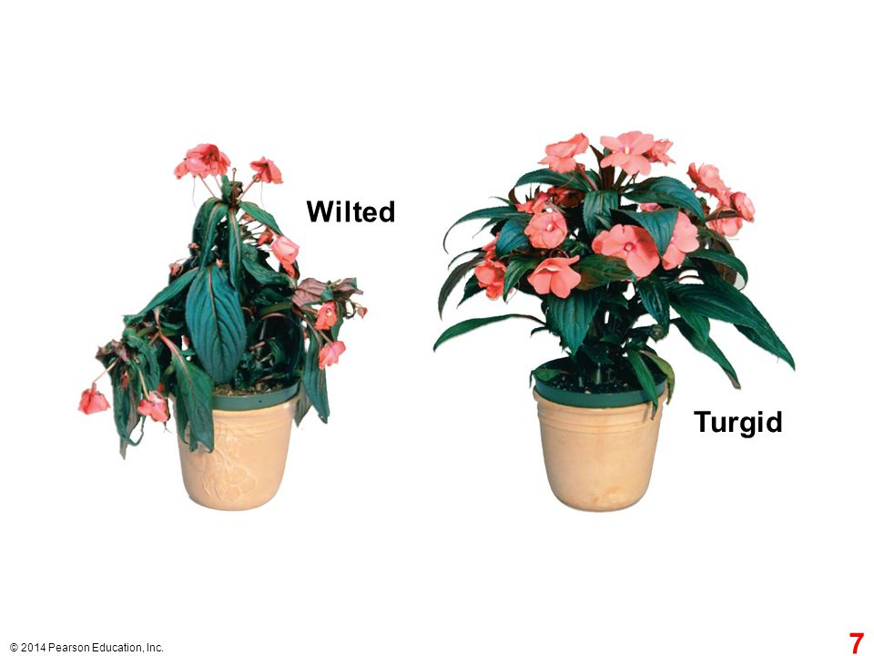 © 2014 Pearson Education, Inc. Turgid Wilted 7