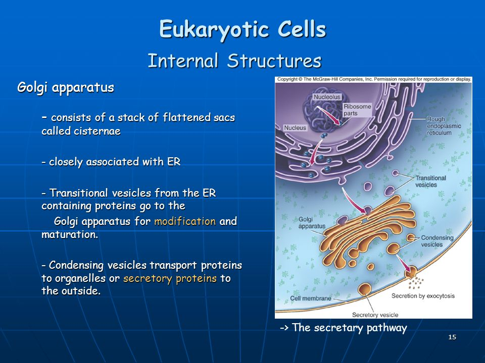 15 Eukaryotic Cells Internal Structures Golgi apparatus - consists of a stack of flattened sacs called cisternae - closely associated with ER - Transitional vesicles from the ER containing proteins go to the Golgi apparatus for modification and maturation.