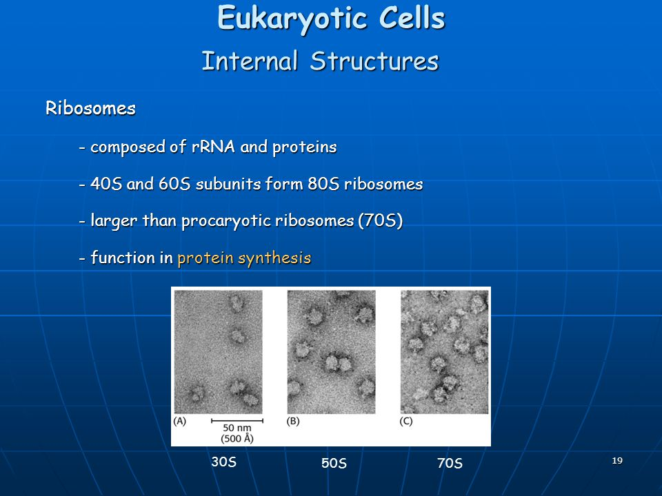 19 Eukaryotic Cells Internal Structures Ribosomes - composed of rRNA and proteins - 40S and 60S subunits form 80S ribosomes - larger than procaryotic ribosomes (70S) - function in protein synthesis 30S 50S70S