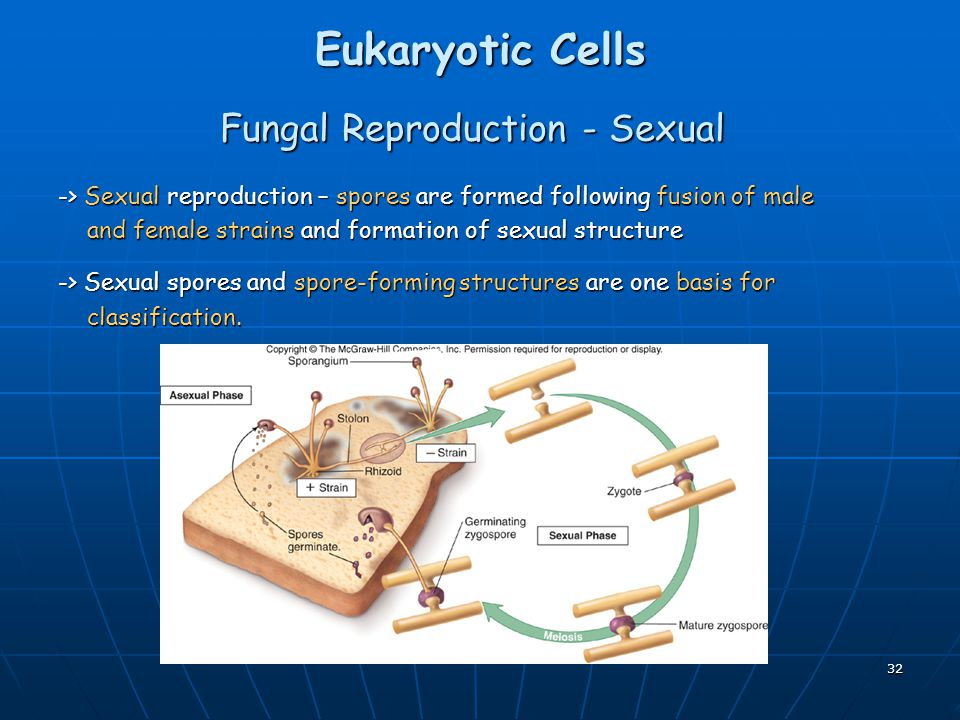 32 Eukaryotic Cells Fungal Reproduction - Sexual -> Sexual reproduction – spores are formed following fusion of male and female strains and formation of sexual structure and female strains and formation of sexual structure -> Sexual spores and spore-forming structures are one basis for classification.