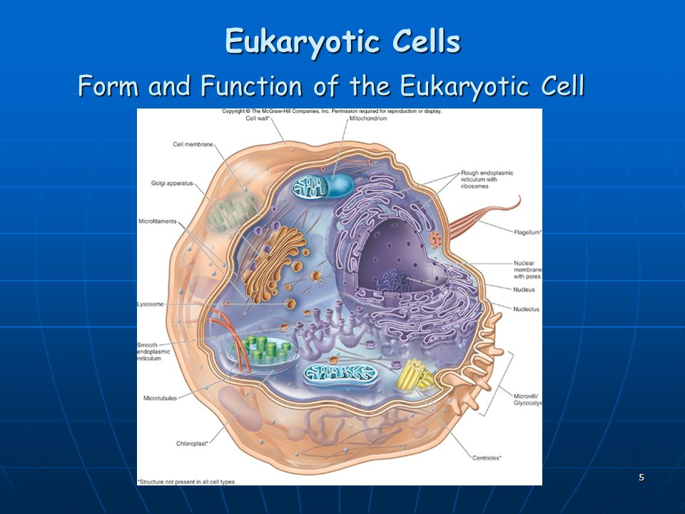 5 Eukaryotic Cells Form and Function of the Eukaryotic Cell