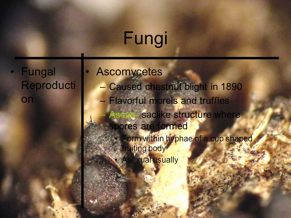Fungi Fungal Reproducti on Ascomycetes –Caused chestnut blight in 1890 –Flavorful morels and truffles –Ascus- saclike structure where spores are formed Form within hyphae of a cup shaped fruiting body Asexual usually