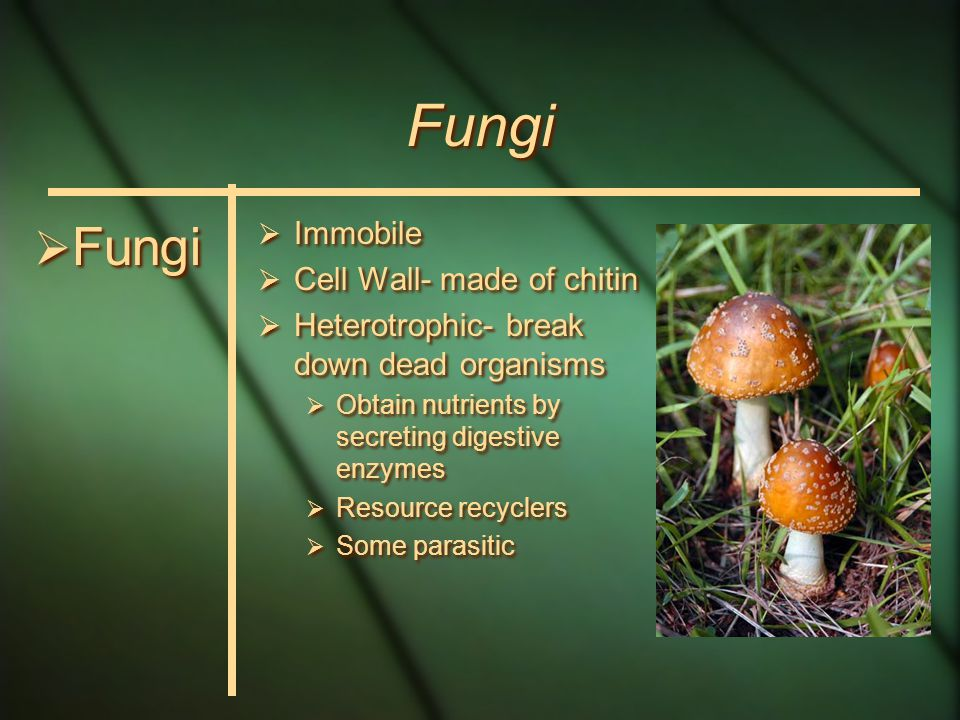 Fungi Bodies made of long, filamentous hyphae woven together –While growing, form tangled mass called mycelium Mitosis occurs inside nucleus (nuclear envelope never disintegrates)