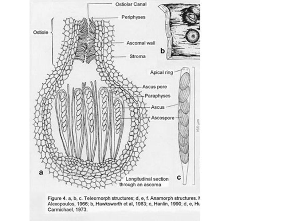 Ascomycota sac fungi Largest phylum of fungi Saprobes, parasites, pathogens.