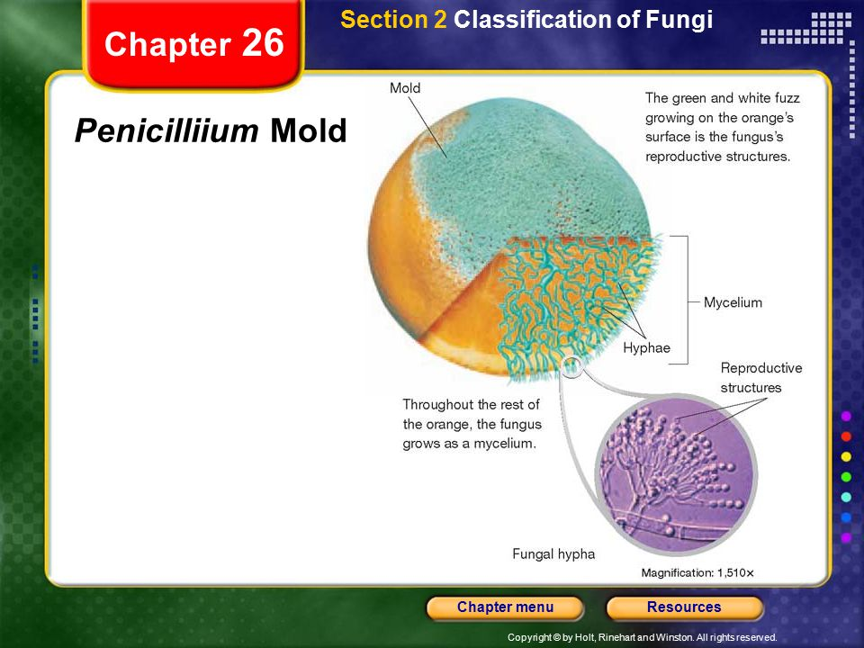 Copyright © by Holt, Rinehart and Winston. All rights reserved. ResourcesChapter menu Chapter 26 Penicilliium Mold Section 2 Classification of Fungi