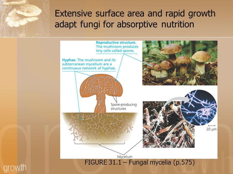 Extensive surface area and rapid growth adapt fungi for absorptive nutrition FIGURE 31.1 – Fungal mycelia (p.575)