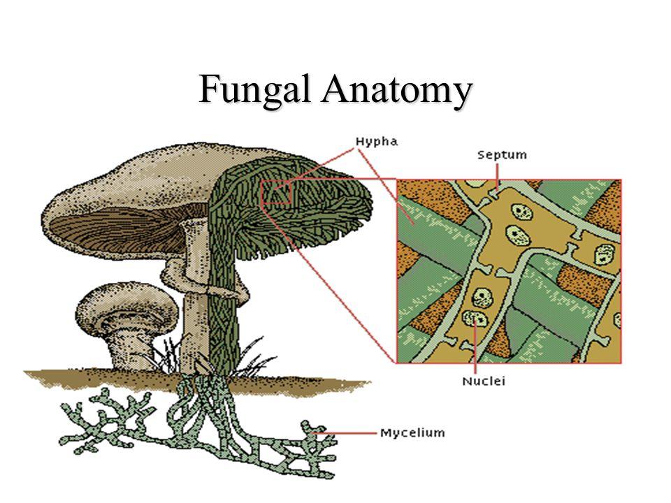 Fungal Anatomy