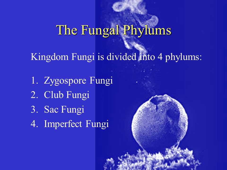 The Fungal Phylums Kingdom Fungi is divided into 4 phylums: 1.Zygospore Fungi 2.Club Fungi 3.Sac Fungi 4.Imperfect Fungi