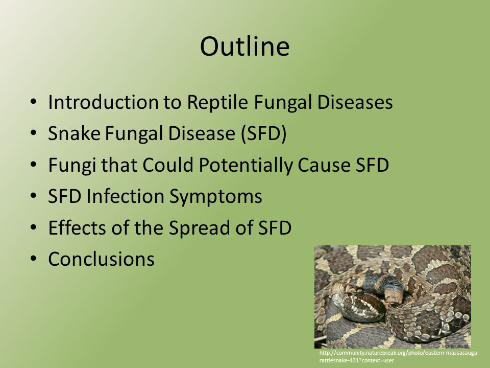 Outline Introduction to Reptile Fungal Diseases Snake Fungal Disease (SFD) Fungi that Could Potentially Cause SFD SFD Infection Symptoms Effects of the Spread of SFD Conclusions http://community.naturebreak.org/photo/eastern-massasauga- rattlesnake-431 context=user