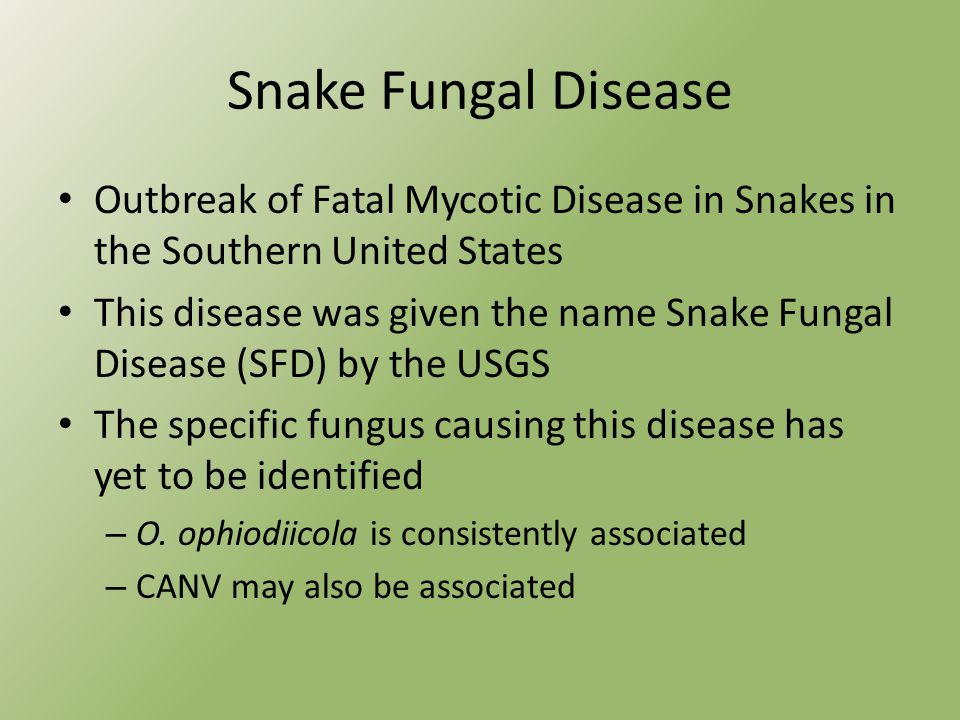 Snake Fungal Disease Outbreak of Fatal Mycotic Disease in Snakes in the Southern United States This disease was given the name Snake Fungal Disease (SFD) by the USGS The specific fungus causing this disease has yet to be identified – O.