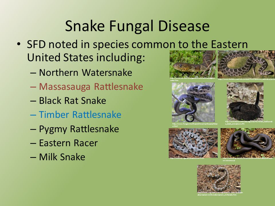 Snake Fungal Disease SFD noted in species common to the Eastern United States including: – Northern Watersnake – Massasauga Rattlesnake – Black Rat Snake – Timber Rattlesnake – Pygmy Rattlesnake – Eastern Racer – Milk Snake http://www.biokids.umich.edu/critters/1127/Sistrurus_catenatus/pictures / http://commons.wikimedia.org/wiki/File:Timber_Rattlesnak e_(dark_coloration).JPG http://www.fws.gov/northeast/chinco/reptilesamphibian s.html http://www.ces.ncsu.edu/gaston/Pests/reptiles/pages/n water.htm http://www2.ca.uky.edu/forestryextension/kysnakes/browse/n on-venomous/ http://srelherp.uga.edu/snakes/sismil.htm http://www.virginiaherpetologicalsociety.com/reptiles/sn akes/eastern-milk-snake/eastern_milksnake.htm