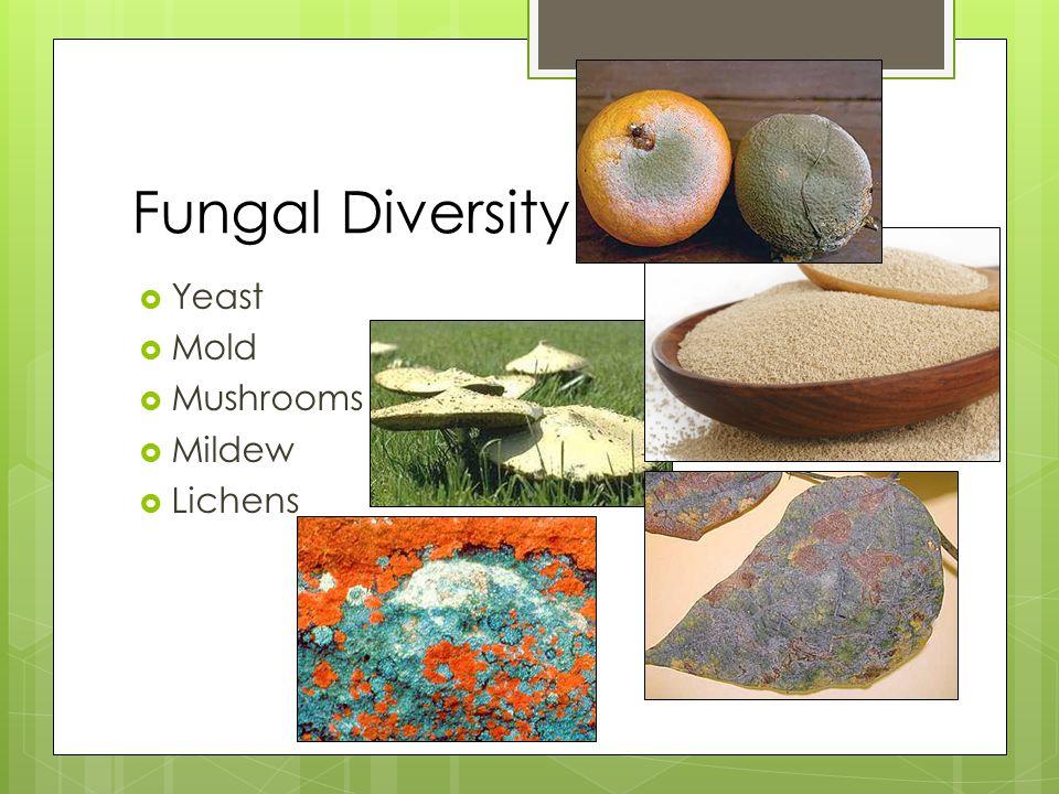 Fungal Diversity  Yeast  Mold  Mushrooms  Mildew  Lichens