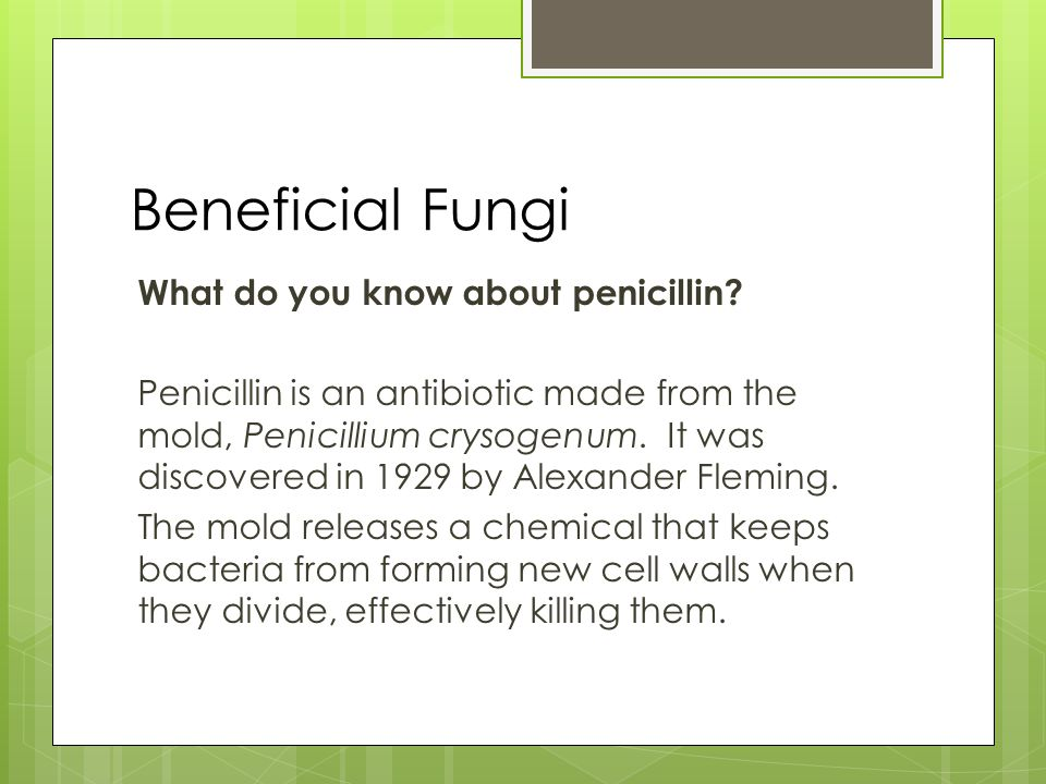 Beneficial Fungi What do you know about penicillin? Penicillin is an antibiotic made from the mold, Penicillium crysogenum. It was discovered in 1929