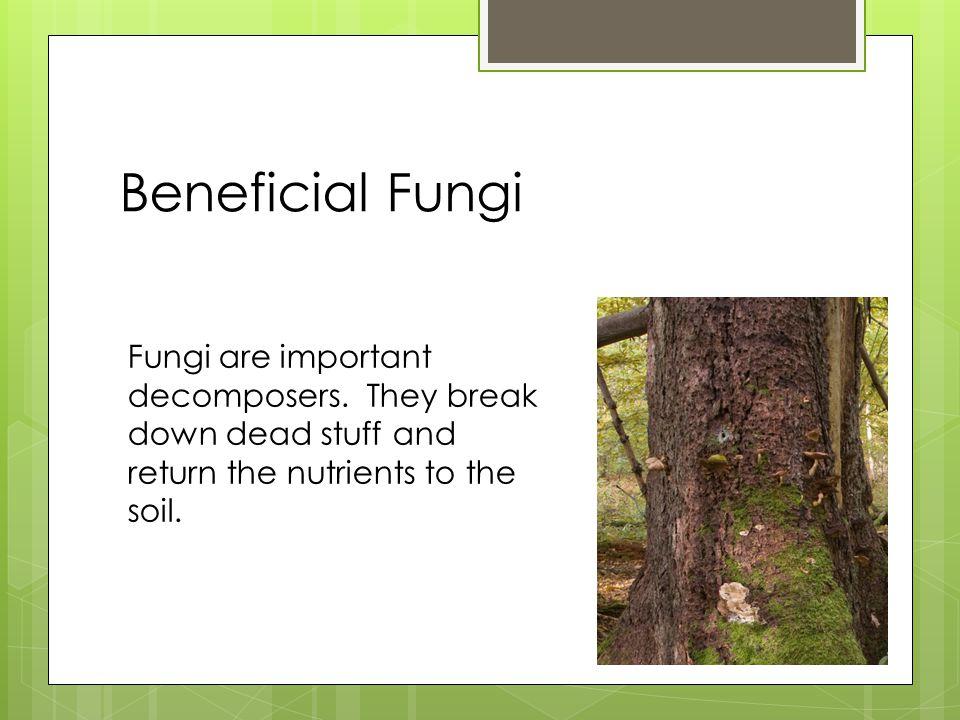 Beneficial Fungi Fungi are important decomposers.