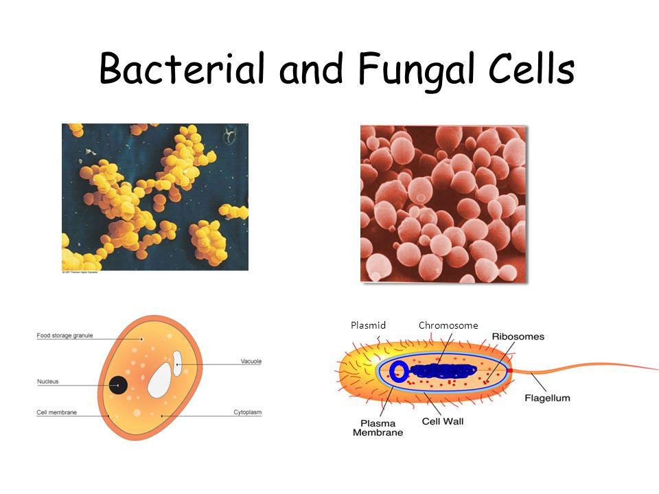Bacterial and Fungal Cells Chromosome Plasmid