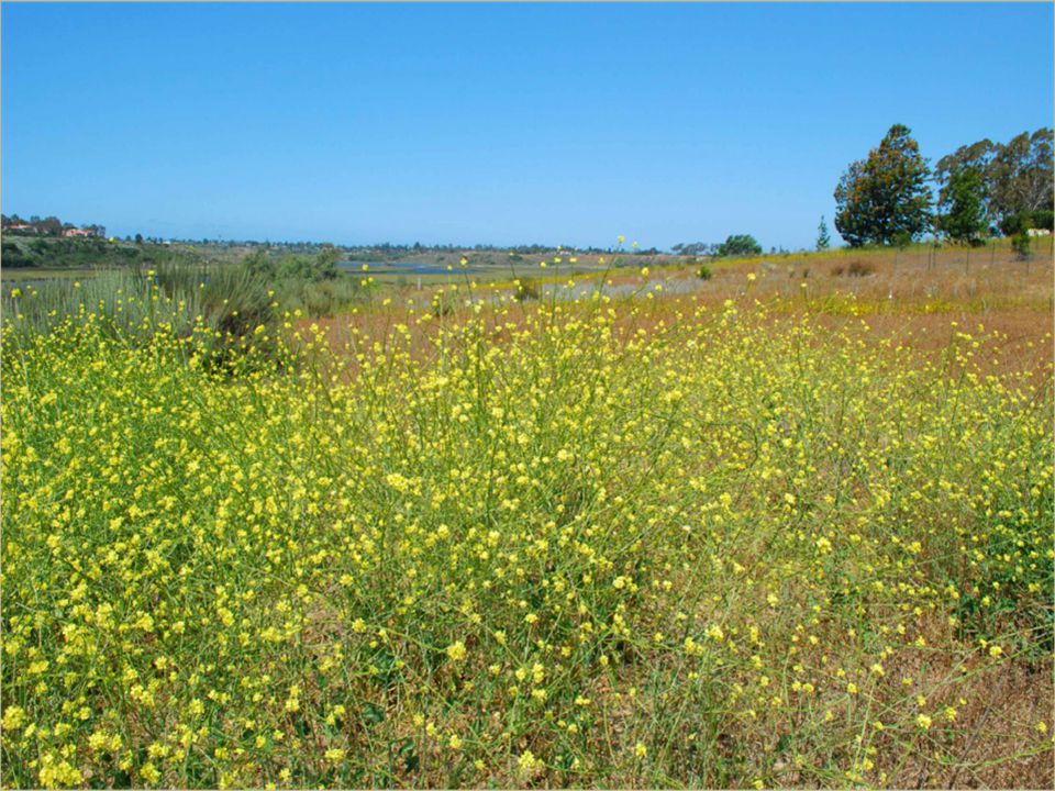 Effects of Brassica Invasion on Ecosystems Alter structure and composition of coastal sage scrub (CSS) Disrupt native fungal communities on which many CSS plant species depend