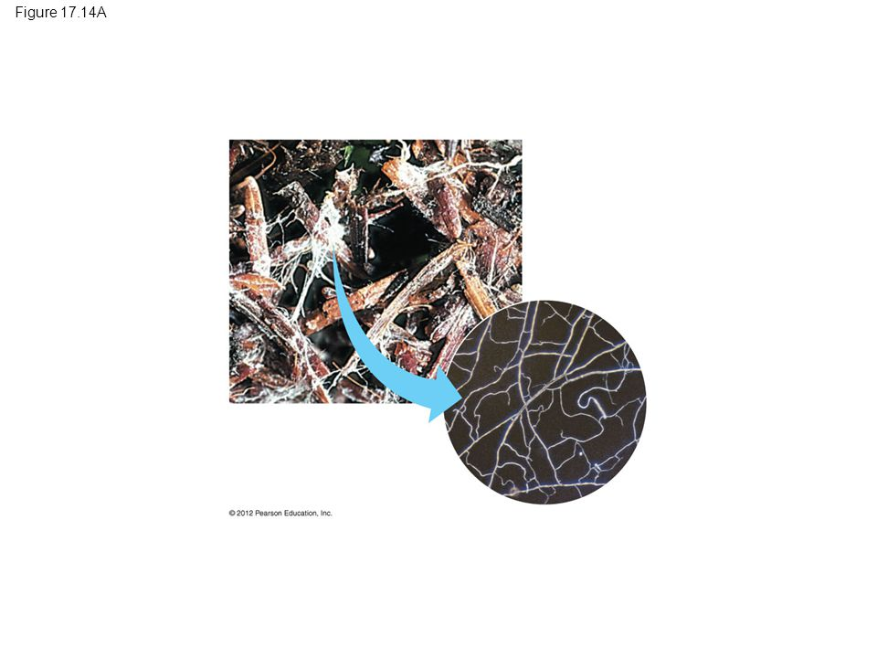 Figure 17.14B Hyphae Reproductive structure Spore-producing structures (tips of hyphae) Mycelium