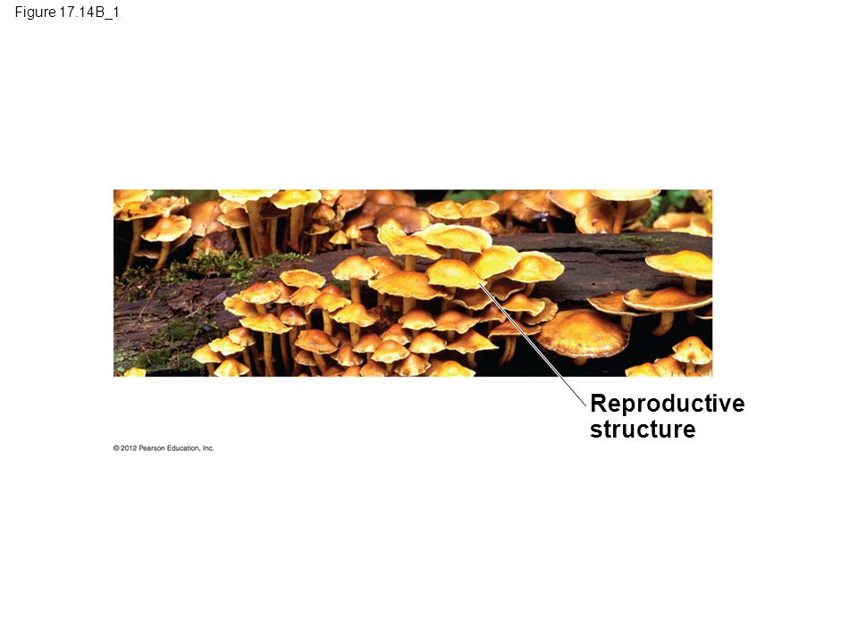 17.14 Fungi absorb food after digesting it outside their bodies  Fungal hyphae –are surrounded by a cell wall made of chitin instead of cellulose.