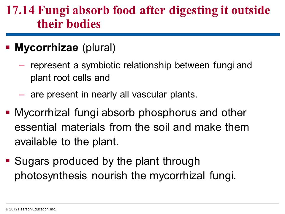 17.14 Fungi absorb food after digesting it outside their bodies  Mycorrhizae (plural) –represent a symbiotic relationship between fungi and plant roo