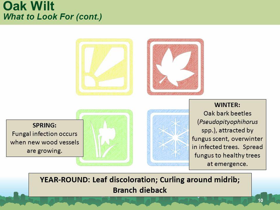 10 YEAR-ROUND: Leaf discoloration; Curling around midrib; Branch dieback WINTER: Oak bark beetles (Pseudopityophihorus spp.), attracted by fungus scen
