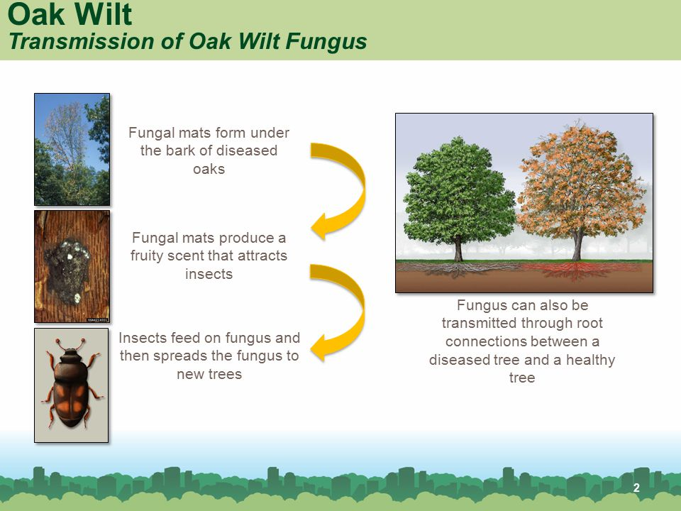 Oak Wilt Transmission of Oak Wilt Fungus Fungal mats form under the bark of diseased oaks Fungal mats produce a fruity scent that attracts insects Ins