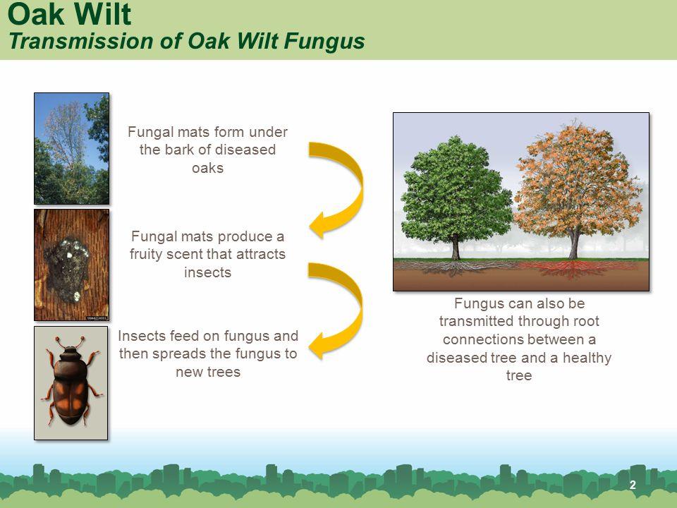 Oak Wilt Common Host Trees Red Oak Shingle Oak Red oak White oak Shingle oak Post oak 3