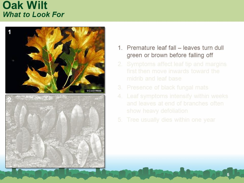 5 Oak Wilt What to Look For 1.Premature leaf fall – leaves turn dull green or brown before falling off 2.Symptoms affect leaf tip and margins first th