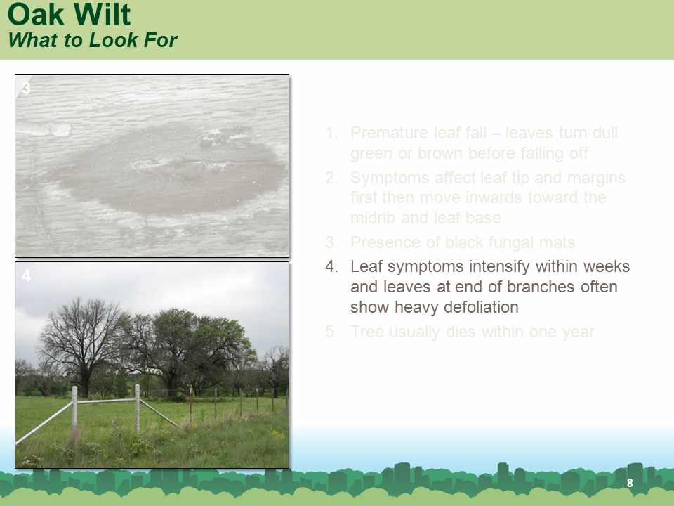 8 Oak Wilt What to Look For 1.Premature leaf fall – leaves turn dull green or brown before falling off 2.Symptoms affect leaf tip and margins first th