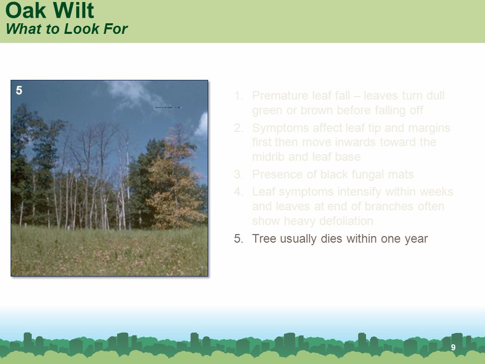 9 Oak Wilt What to Look For 1.Premature leaf fall – leaves turn dull green or brown before falling off 2.Symptoms affect leaf tip and margins first th