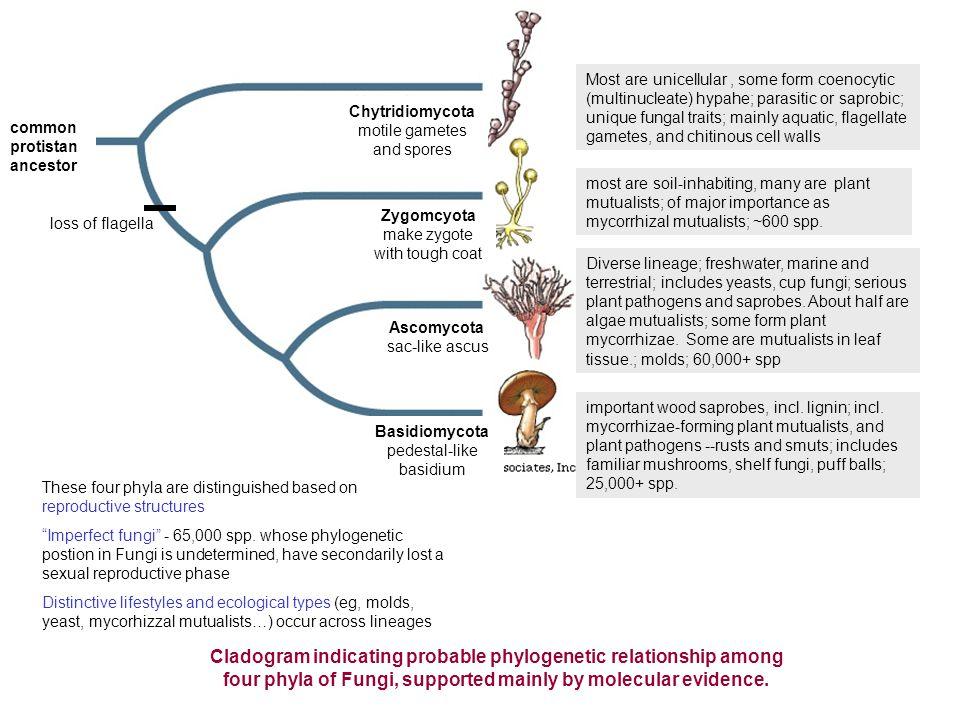 chytridiomyctota (chytrids).