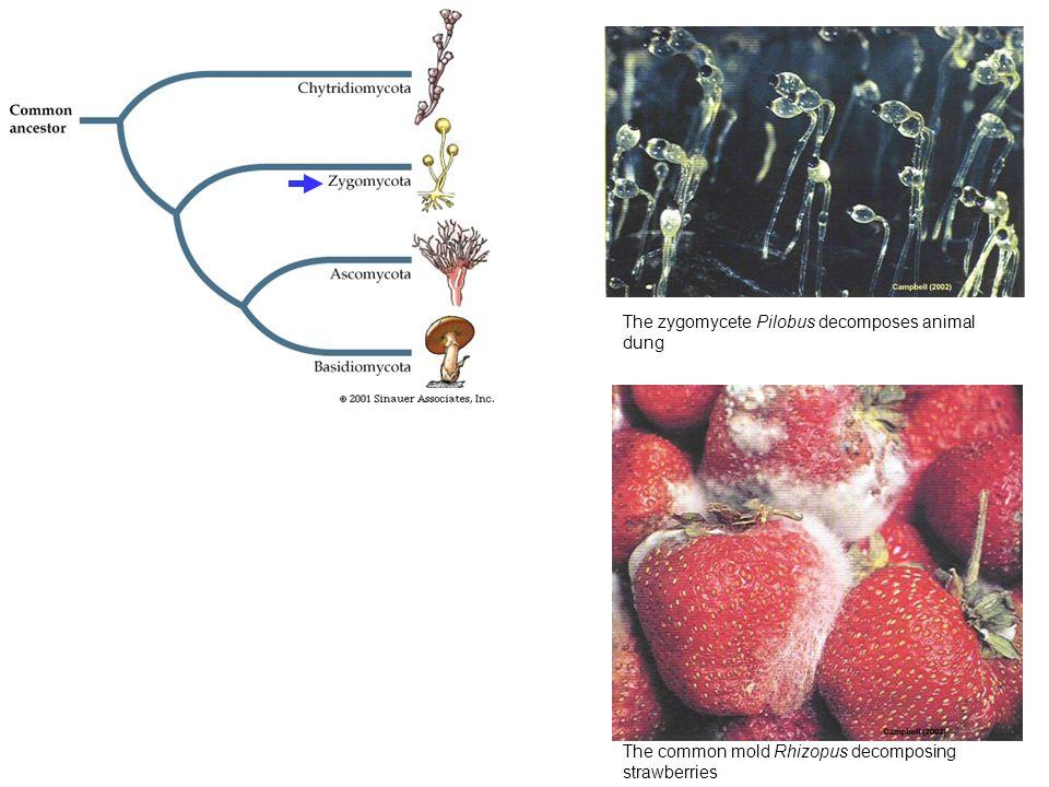 Edible morel (Morchella esculenta).Copyright Dr. Phil Gates, Durham U./BPS.