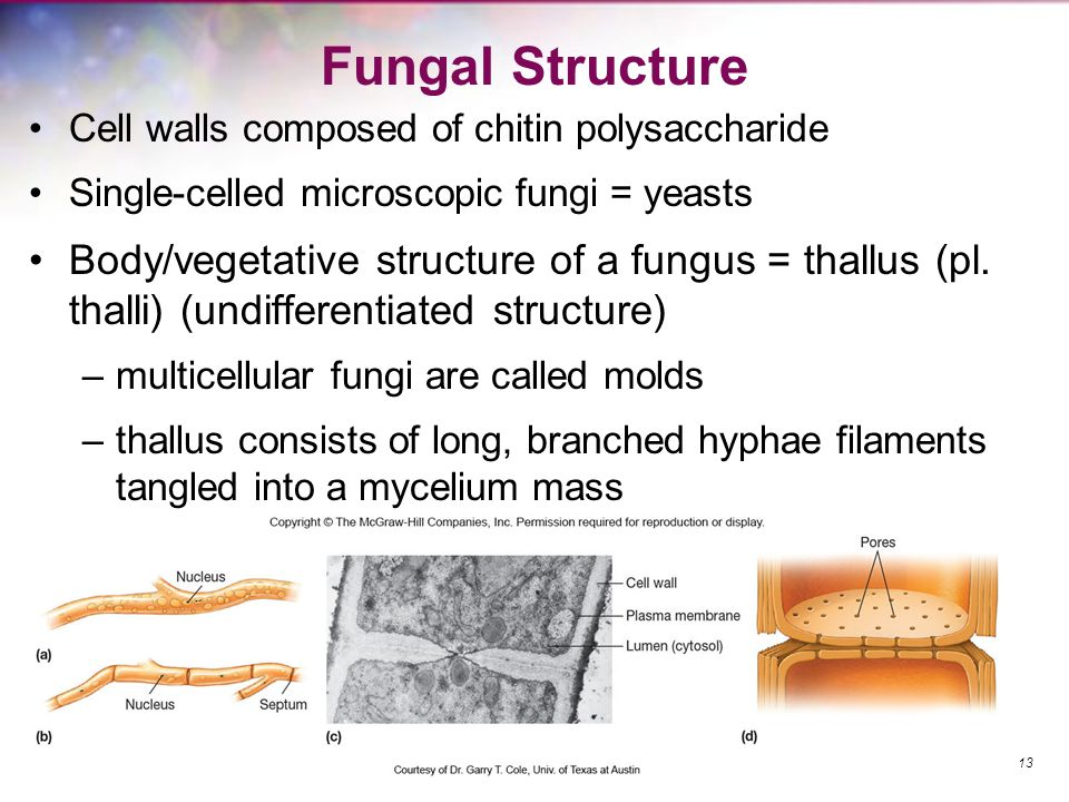Fungal Structure Cell walls composed of chitin polysaccharide Single-celled microscopic fungi = yeasts Body/vegetative structure of a fungus = thallus