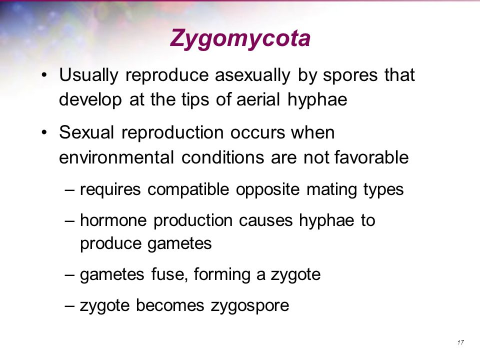 Zygomycota Usually reproduce asexually by spores that develop at the tips of aerial hyphae Sexual reproduction occurs when environmental conditions ar