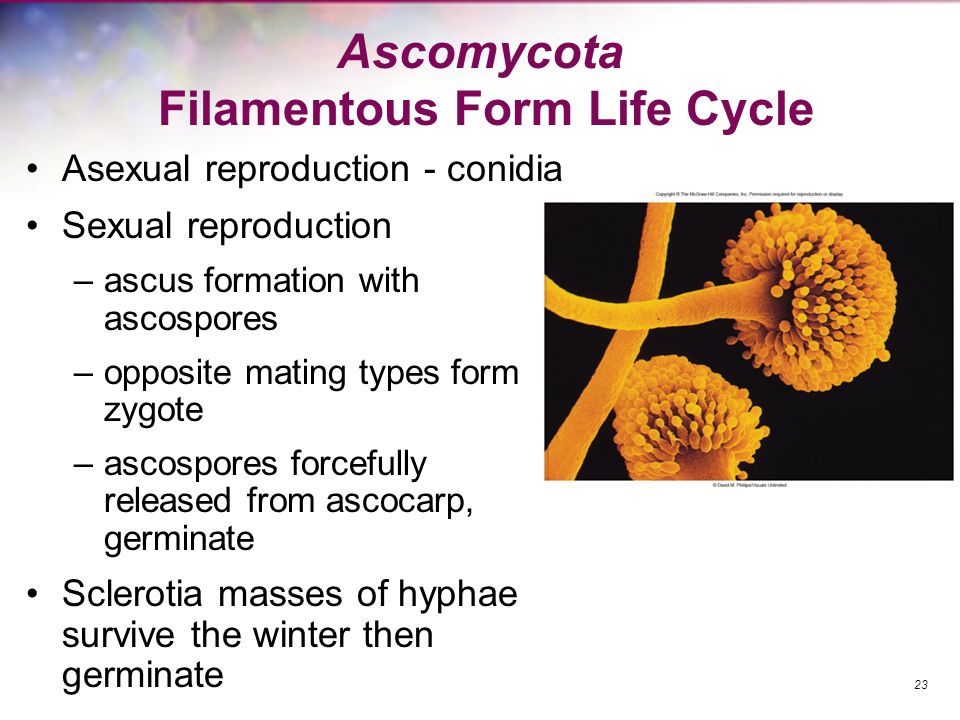 Ascomycota Filamentous Form Life Cycle Asexual reproduction - conidia Sexual reproduction –ascus formation with ascospores –opposite mating types form