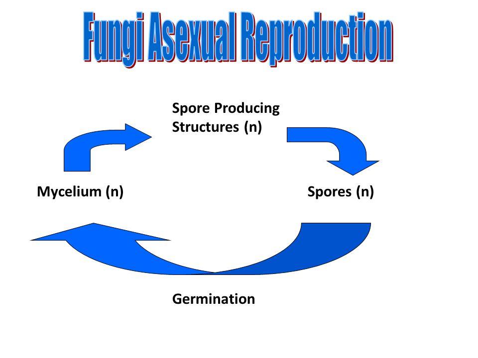 Mycelium (n) Spore Producing Structures (n) Spores (n) Germination