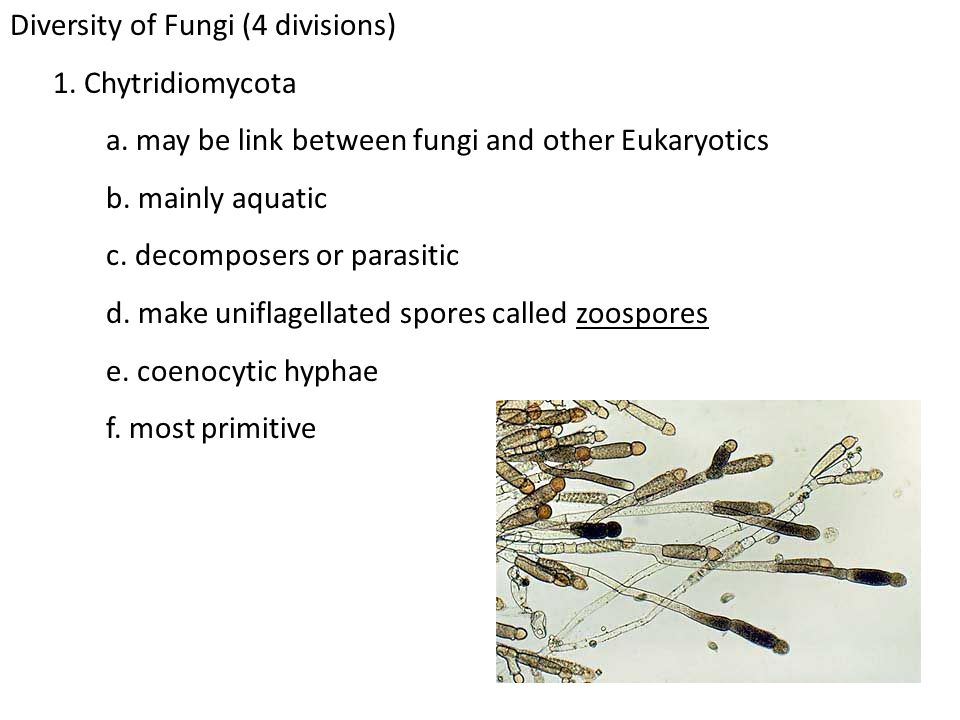 Diversity of Fungi (4 divisions) 1. Chytridiomycota a. may be link between fungi and other Eukaryotics b. mainly aquatic c. decomposers or parasitic d