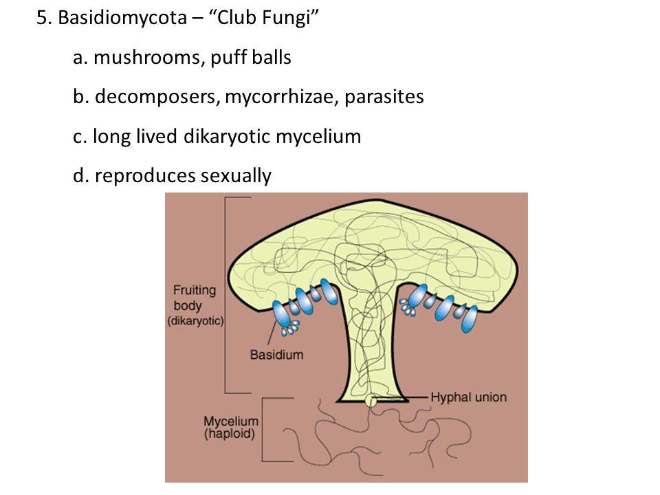 "5. Basidiomycota – ""Club Fungi"" a. mushrooms, puff balls b. decomposers, mycorrhizae, parasites c. long lived dikaryotic mycelium d. reproduces sexual"